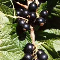 Black Currants.jpg