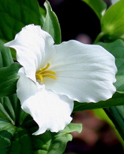 leftcoast_trillium profile picture