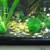 I have a 75 gallon community tank, and 2 10 gallon freshwater shrimp tanks.