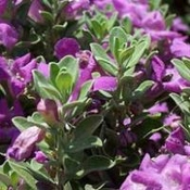 Purple Sage profile picture