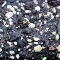 Peter peppers are coming up!  :D