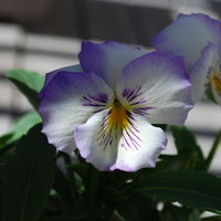 Pansies 2.JPG