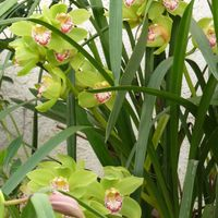 Green orchids P1000229.JPG