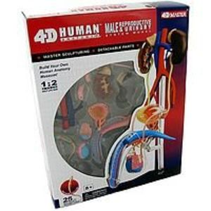 Tedco Human Anatomy - Male Reproductive System Model