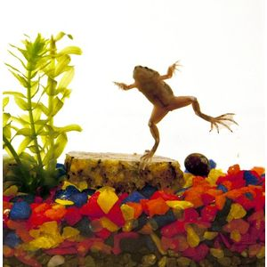 Natural Aquatics Large Frog Aquarium with 2 Frogs