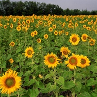 field_of_sunflowers_north_dakota-1600x1200.jpg