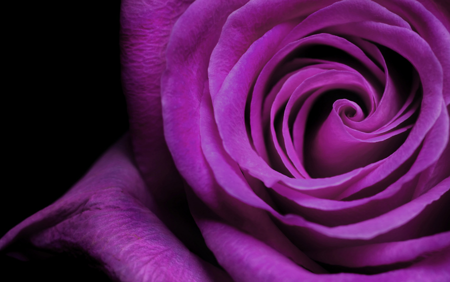 rose-flower-wallpaper-free_2560x1600_83151.jpg