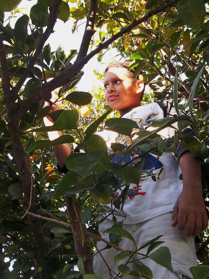 Zane age 9 picking oranges