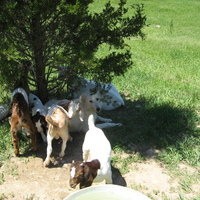 Suzie and her goats