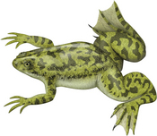 Xenopus profile picture