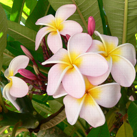 Plumeria_(Frangipani).jpg