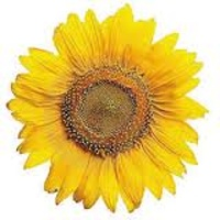 bare sunflower.jpg