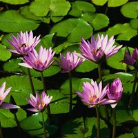 Water lilies.jpg