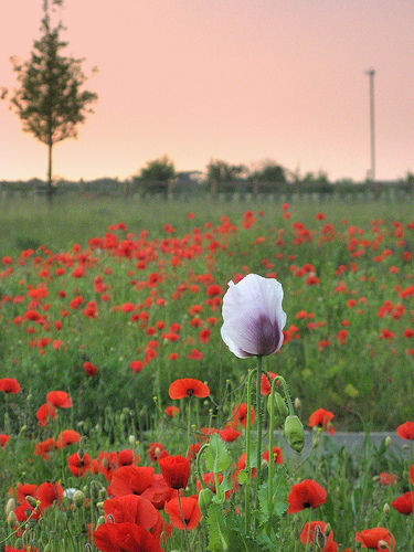 tall poppies.jpg