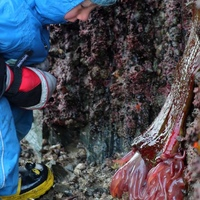 katmai-examines-a-christmas-anemone-urticina-crassicornis.600x600.jpg