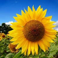 sunflower3-300x279.jpg