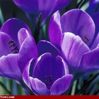 purple flowers.bmp