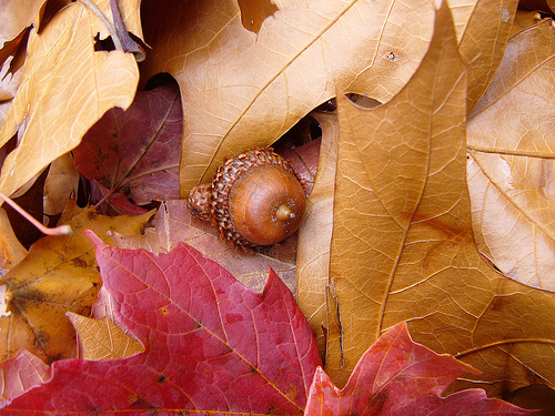 acorn on leaves.jpg