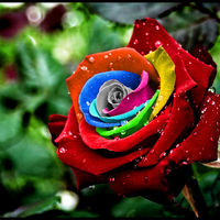 spectacular-rainbow-rose.jpg