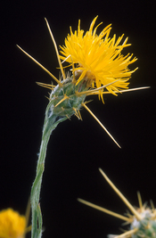 star thistle profile picture
