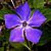 Periwinkle profile picture