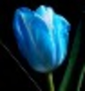 Blue Tulip profile picture