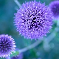 blue-to-purple-perennial-flowers-1.jpg